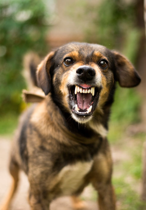 New Role Identified for Hormones in Dog Aggression