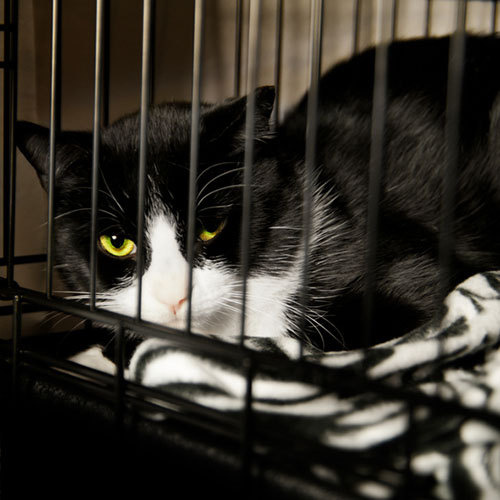 Avian Influenza Infects Cats and Veterinarian